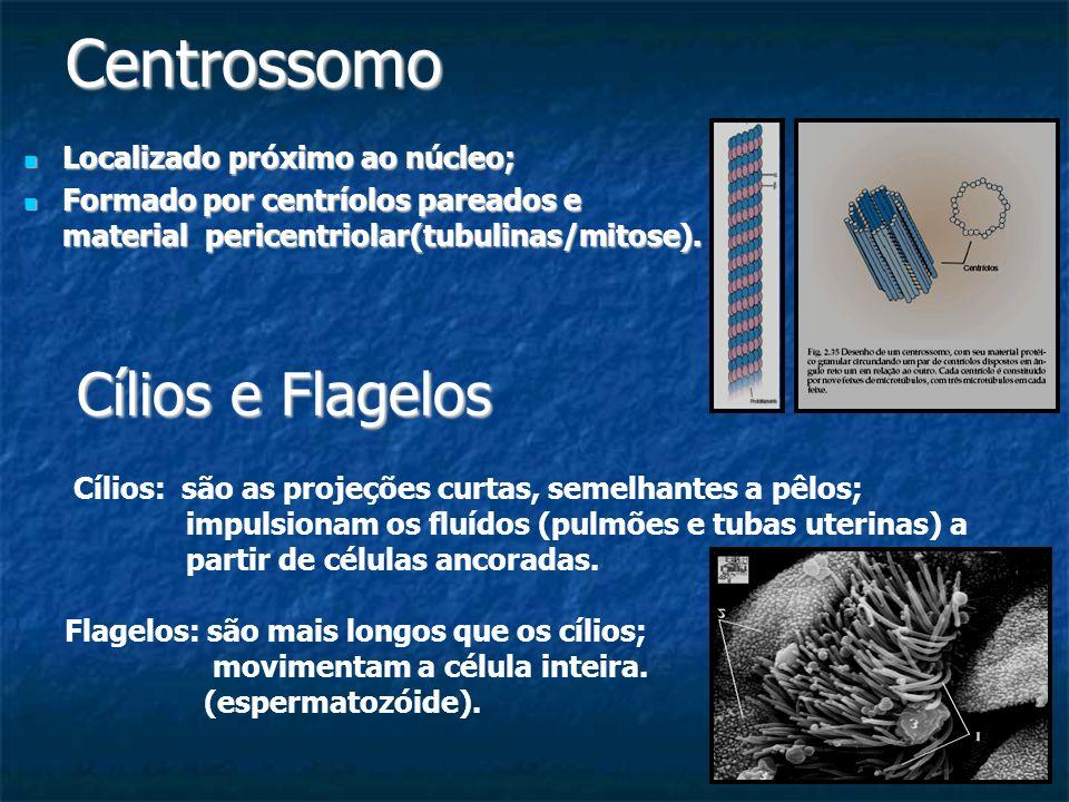Centrossomo Cílios e Flagelos Localizado próximo ao núcleo;