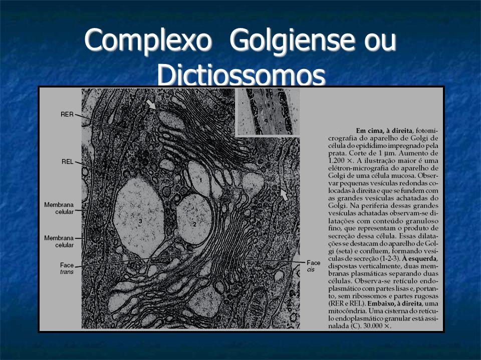 Complexo Golgiense ou Dictiossomos