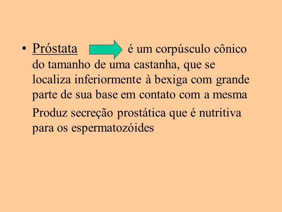 Próstata é um corpúsculo cônico do tamanho de uma castanha, que se localiza inferiormente à bexiga com grande parte de sua base em contato com a mesma