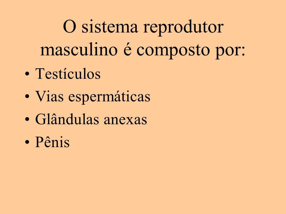 O sistema reprodutor masculino é composto por: