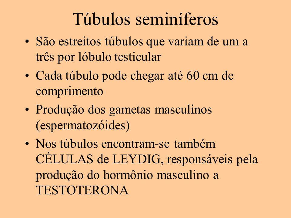Túbulos seminíferos São estreitos túbulos que variam de um a três por lóbulo testicular. Cada túbulo pode chegar até 60 cm de comprimento.