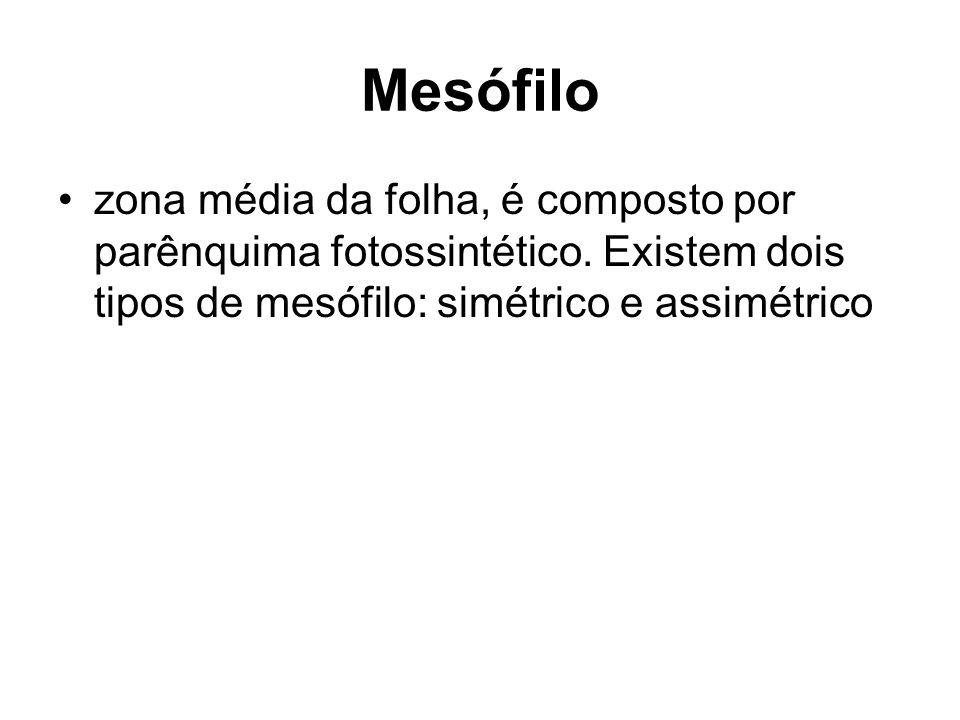 Mesófilo zona média da folha, é composto por parênquima fotossintético.
