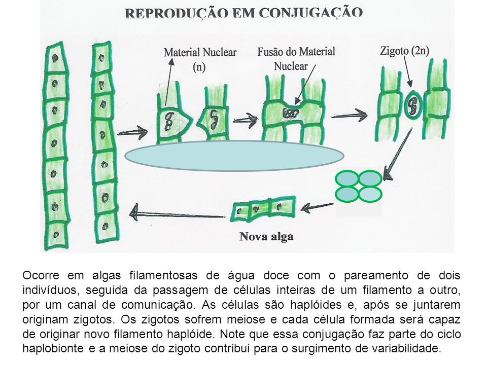 Ocorre em algas filamentosas de água doce com o pareamento de dois indivíduos, seguida da passagem de células inteiras de um filamento a outro, por um canal de comunicação.