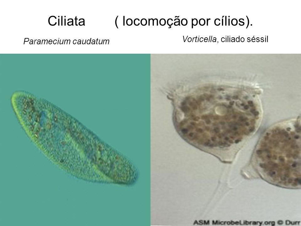 Ciliata ( locomoção por cílios).