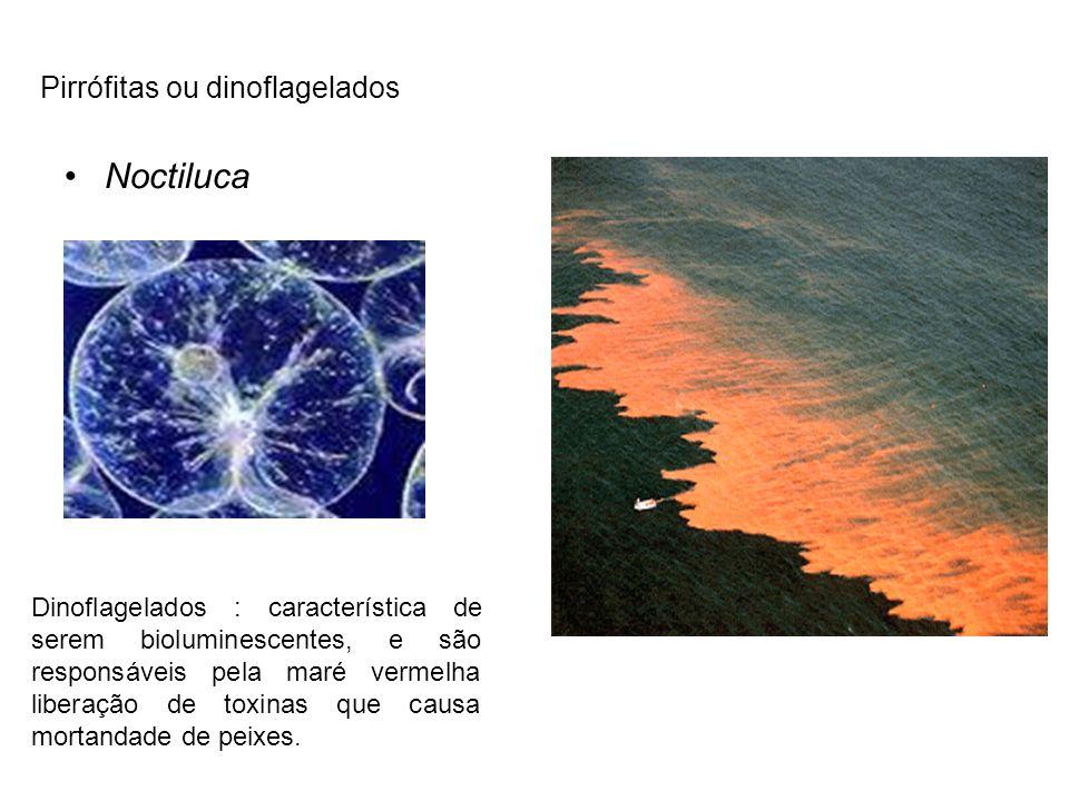 Noctiluca Pirrófitas ou dinoflagelados