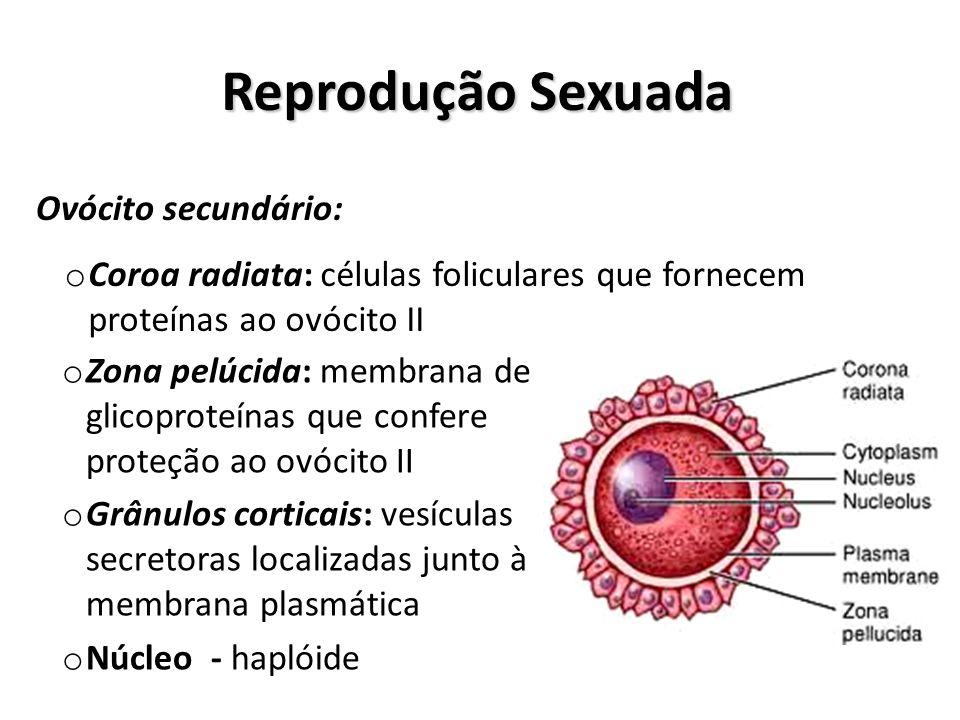 Reprodução Sexuada Ovócito secundário: