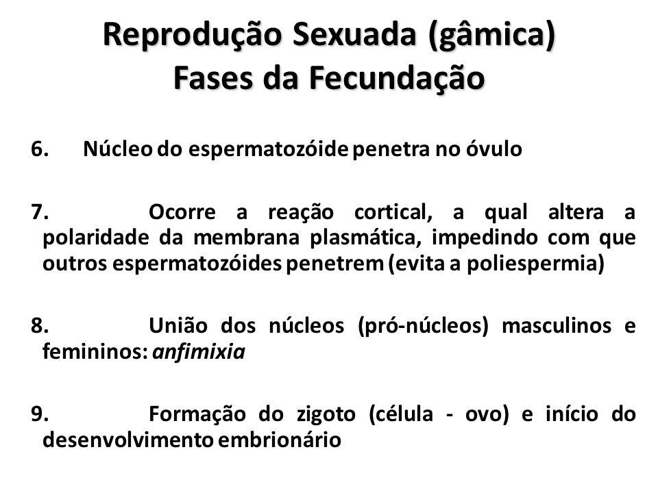 Reprodução Sexuada (gâmica) Fases da Fecundação