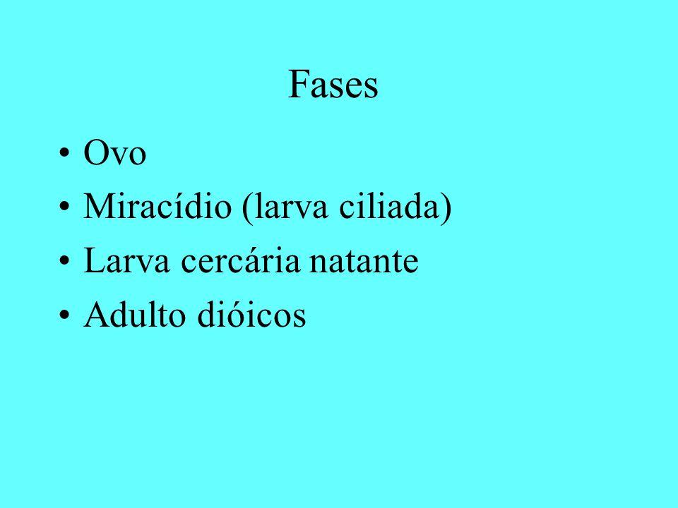 Fases Ovo Miracídio (larva ciliada) Larva cercária natante