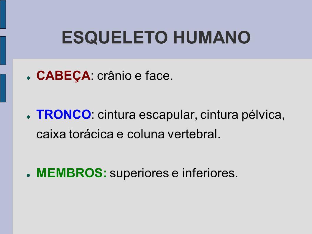 ESQUELETO HUMANO CABEÇA: crânio e face.