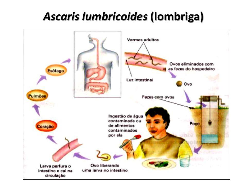 Ascaris lumbricoides (lombriga)