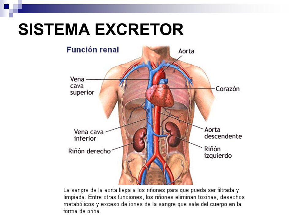 SISTEMA EXCRETOR ppt video online carregar