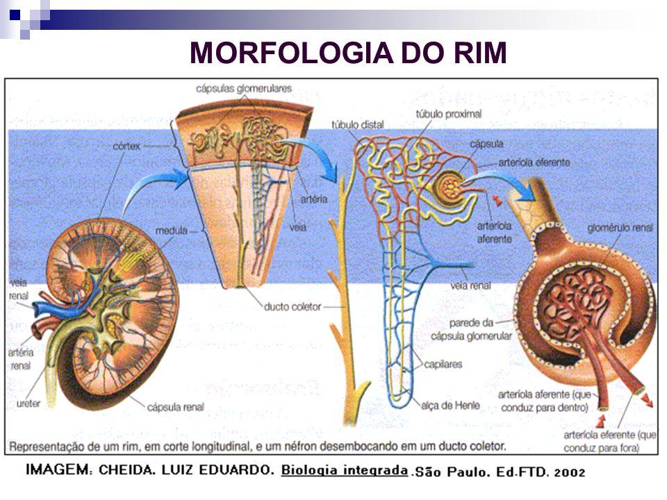 MORFOLOGIA DO RIM 10