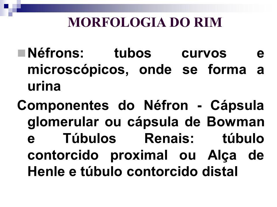 Néfrons: tubos curvos e microscópicos, onde se forma a urina
