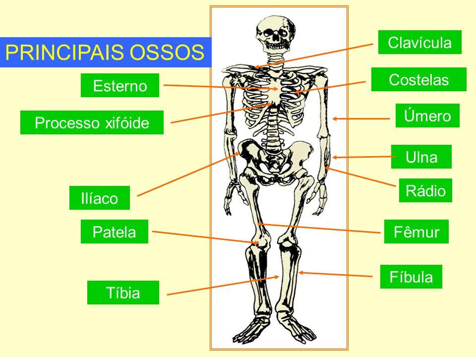 PRINCIPAIS OSSOS Clavícula Costelas Esterno Úmero Processo xifóide