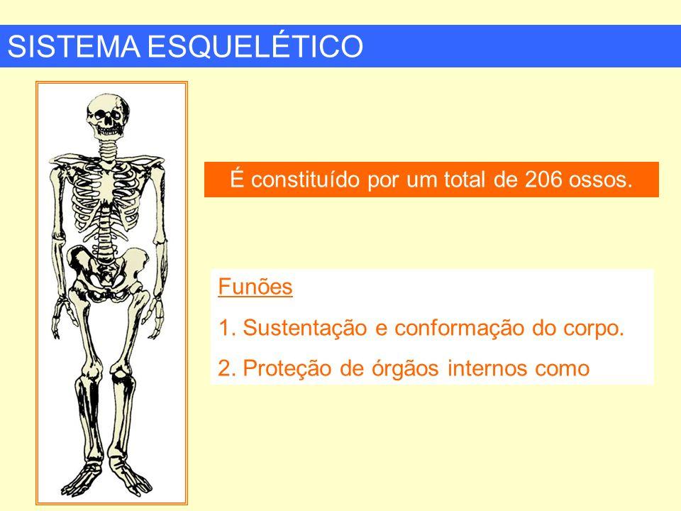 É constituído por um total de 206 ossos.