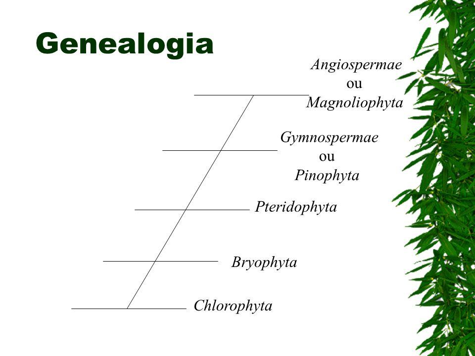 Genealogia Angiospermae ou Magnoliophyta Gymnospermae ou Pinophyta