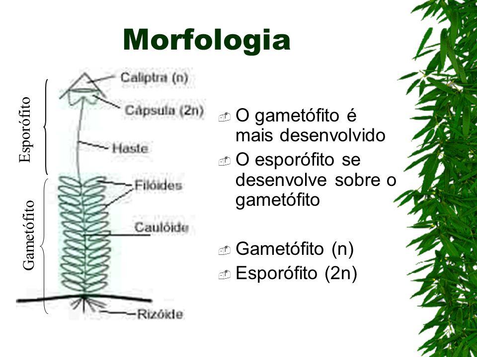 Morfologia O gametófito é mais desenvolvido