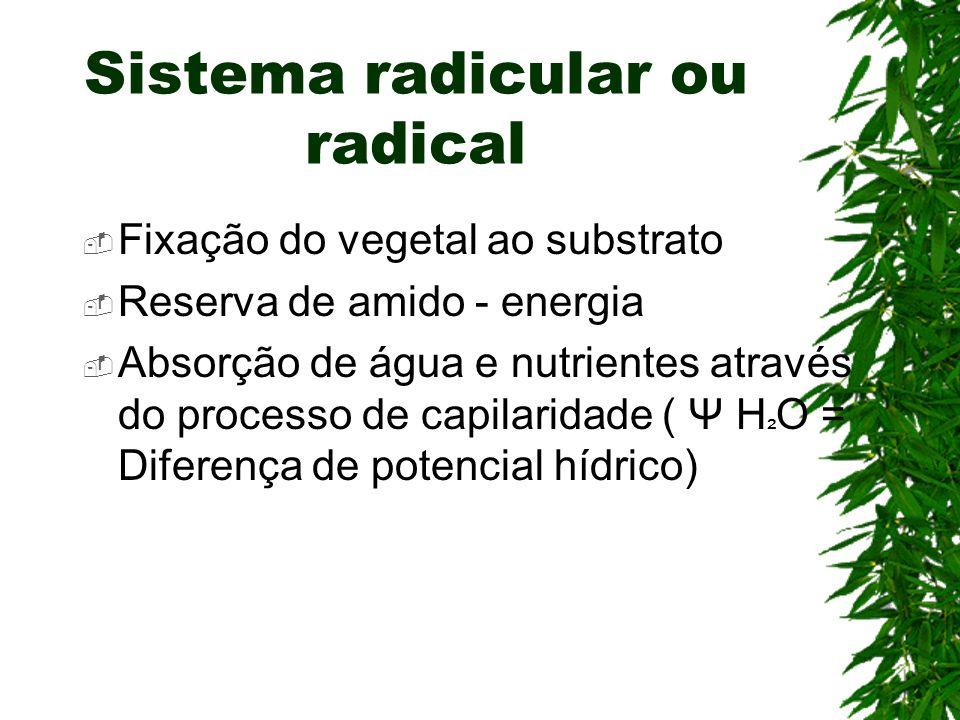 Sistema radicular ou radical