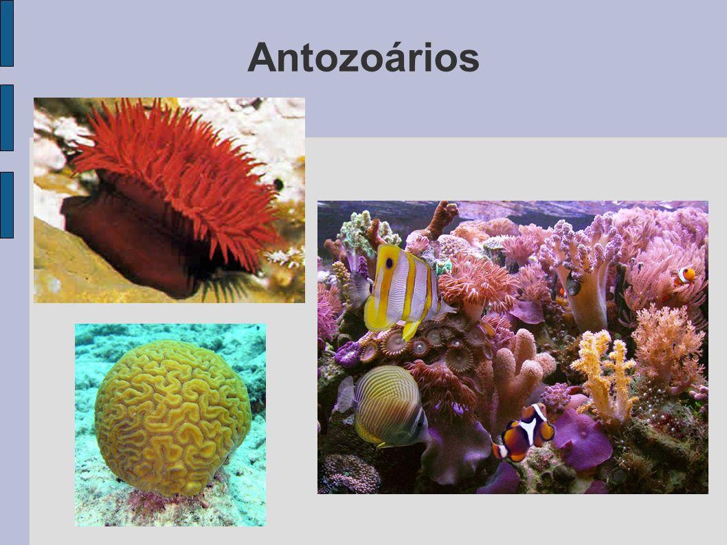 Antozoários