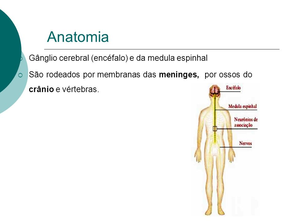 Anatomia Gânglio cerebral (encéfalo) e da medula espinhal