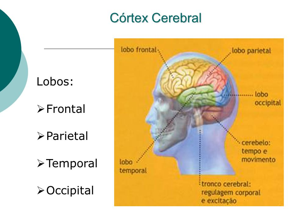 Córtex Cerebral Lobos: Frontal Parietal Temporal Occipital