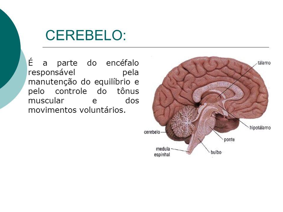 CEREBELO: É a parte do encéfalo responsável pela manutenção do equilíbrio e pelo controle do tônus muscular e dos movimentos voluntários.