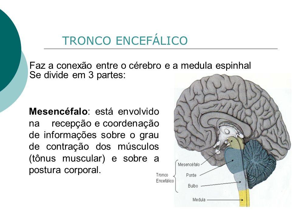 TRONCO ENCEFÁLICO Faz a conexão entre o cérebro e a medula espinhal