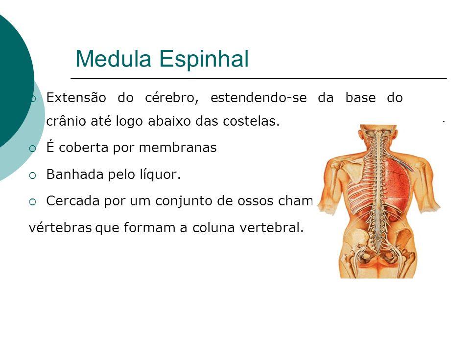 Medula Espinhal Extensão do cérebro, estendendo-se da base do crânio até logo abaixo das costelas. É coberta por membranas.