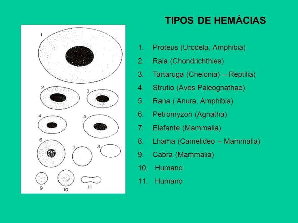 TIPOS DE HEMÁCIAS Proteus (Urodela, Amphibia) Raia (Chondrichthies)