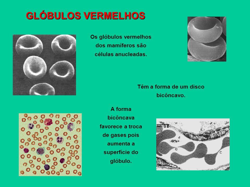 GLÓBULOS VERMELHOS Os glóbulos vermelhos dos mamíferos são células anucleadas. Têm a forma de um disco bicôncavo.