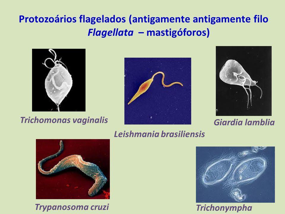 Protozoários flagelados (antigamente antigamente filo Flagellata – mastigóforos)