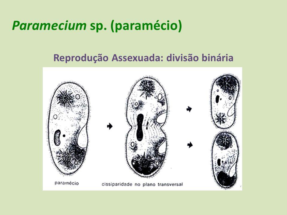 Paramecium sp. (paramécio)