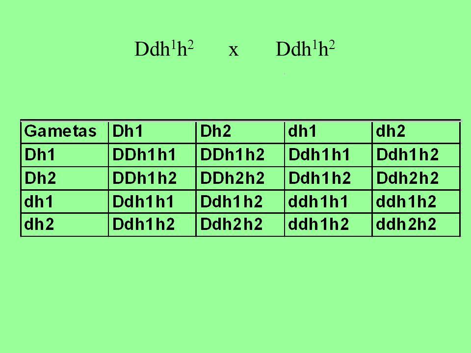 Ddh1h2 x Ddh1h2