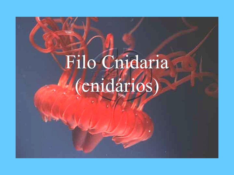 Filo Cnidaria (cnidários)