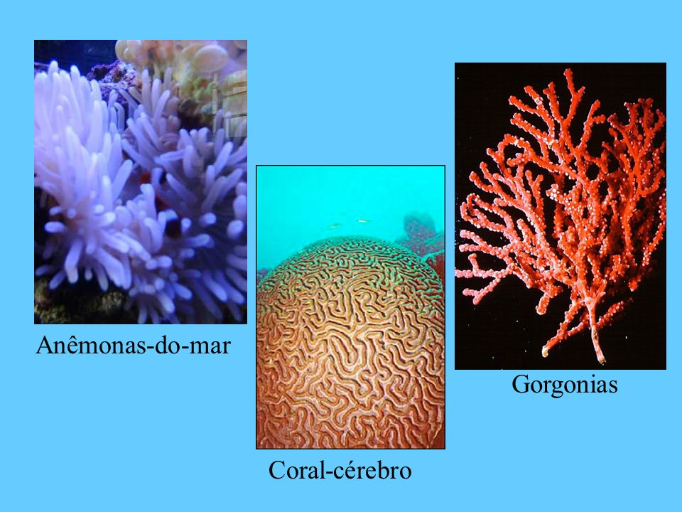 Anêmonas-do-mar Gorgonias Coral-cérebro