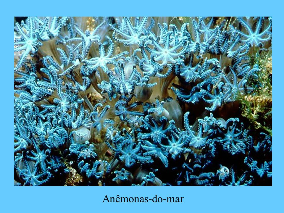Anêmonas-do-mar