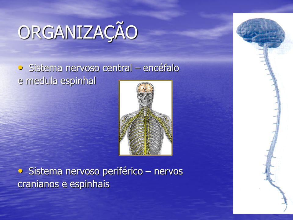 ORGANIZAÇÃO Sistema nervoso central – encéfalo e medula espinhal