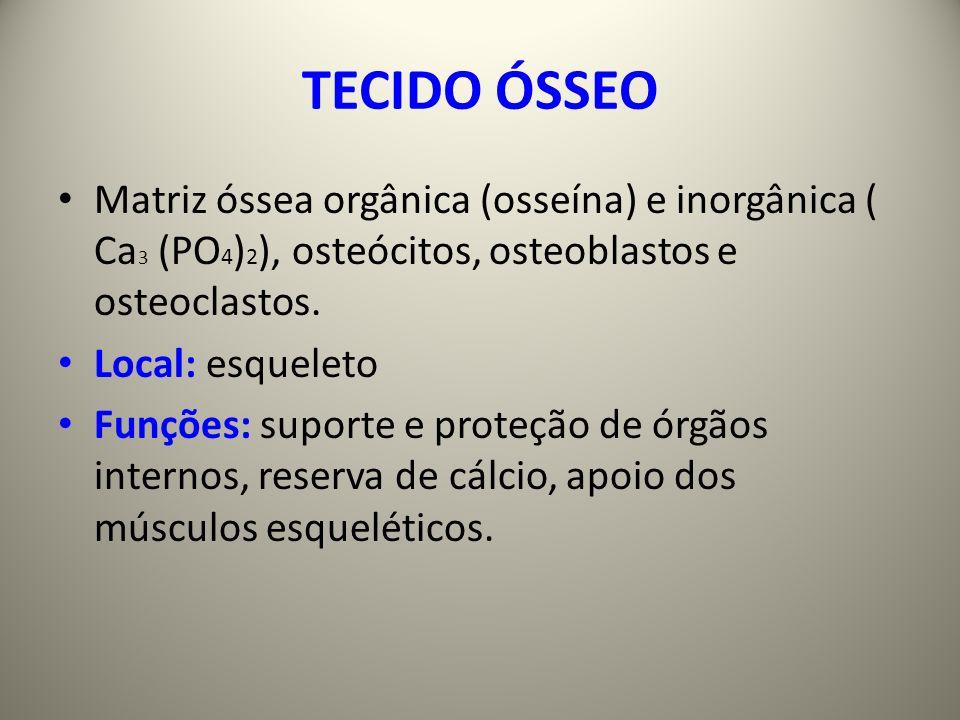 TECIDO ÓSSEO Matriz óssea orgânica (osseína) e inorgânica ( Ca3 (PO4)2), osteócitos, osteoblastos e osteoclastos.