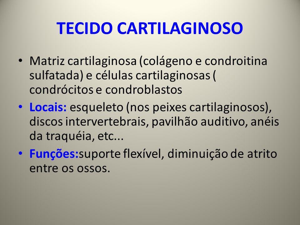TECIDO CARTILAGINOSO Matriz cartilaginosa (colágeno e condroitina sulfatada) e células cartilaginosas ( condrócitos e condroblastos.