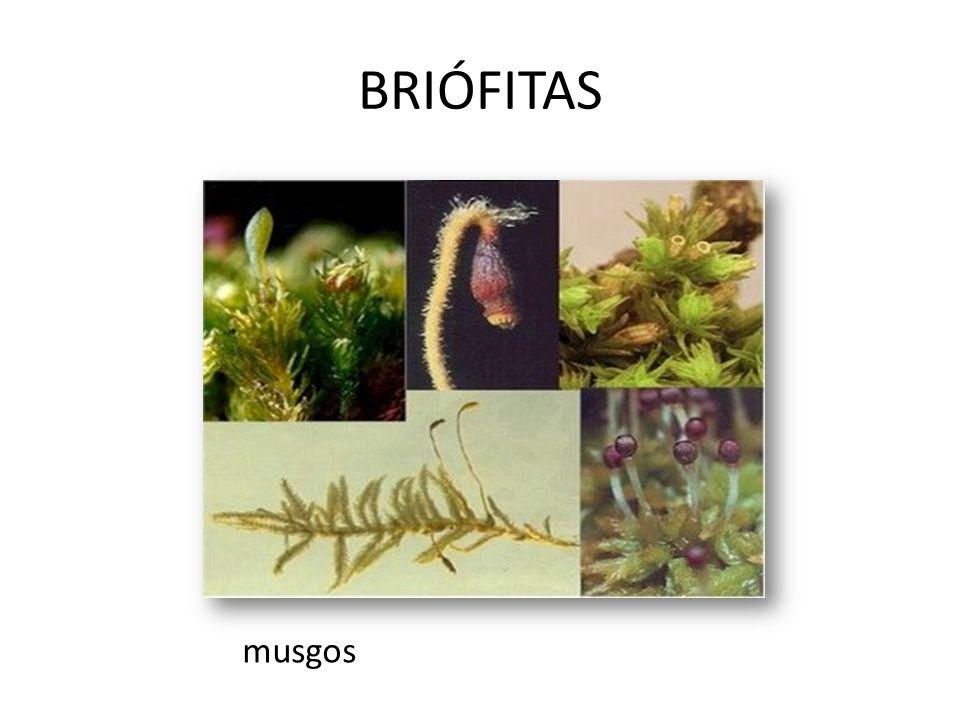 BRIÓFITAS musgos