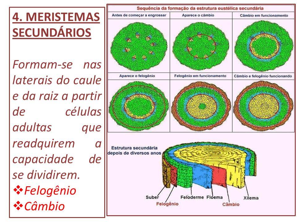 4. MERISTEMAS SECUNDÁRIOS