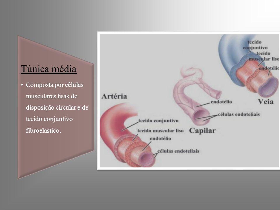 Túnica média Composta por células musculares lisas de disposição circular e de tecido conjuntivo fibroelastico.