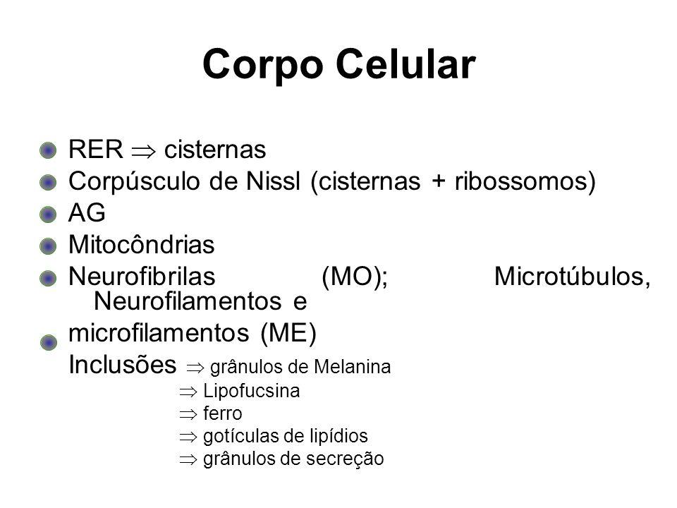 Corpo Celular RER  cisternas