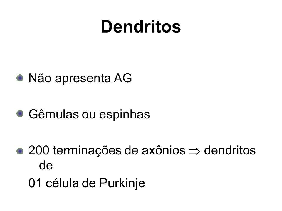 Dendritos Não apresenta AG Gêmulas ou espinhas