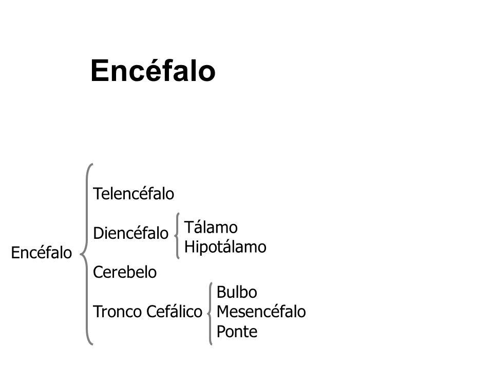 Encéfalo Telencéfalo Diencéfalo Encéfalo Tálamo Cerebelo Hipotálamo
