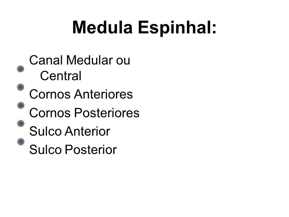 Medula Espinhal: Canal Medular ou Central Cornos Anteriores