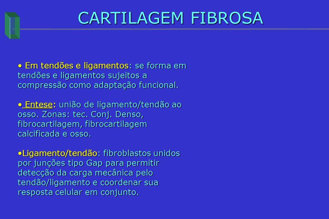 CARTILAGEM FIBROSA Em tendões e ligamentos: se forma em tendões e ligamentos sujeitos a compressão como adaptação funcional.