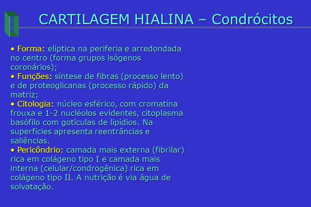 CARTILAGEM HIALINA – Condrócitos
