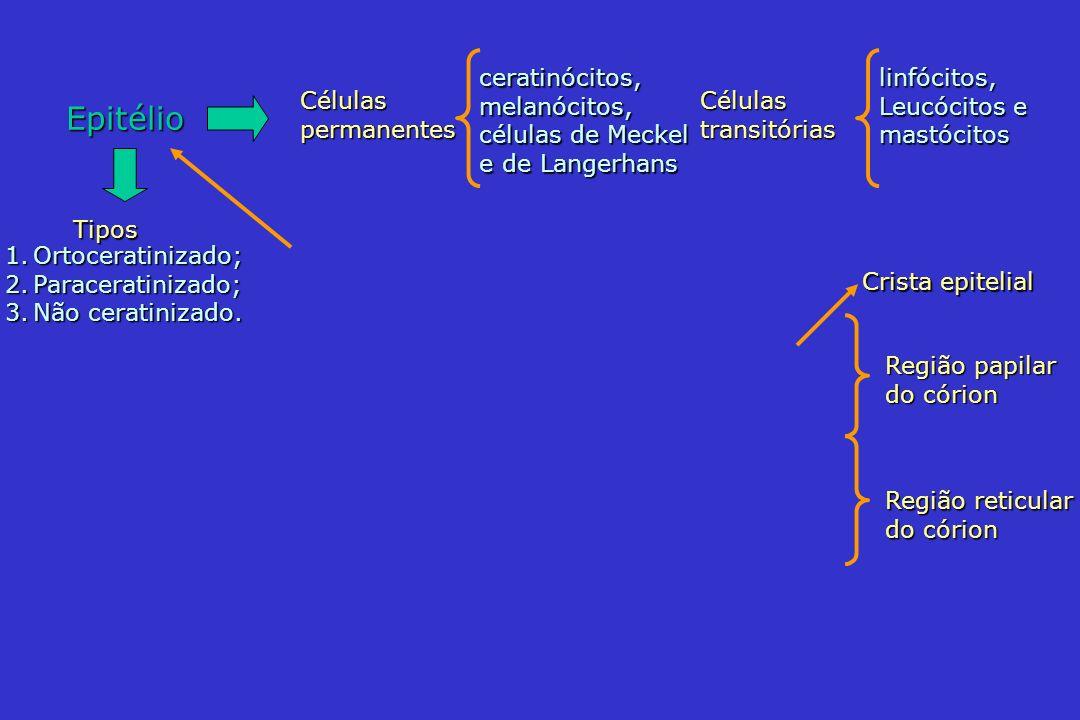 Epitélio ceratinócitos, melanócitos, células de Meckel e de Langerhans