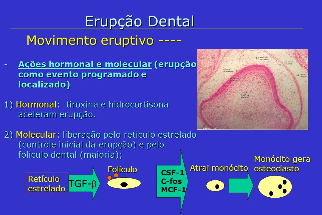 Erupção Dental Movimento eruptivo ---- TGF-b